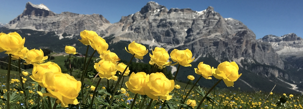 Globeflower (Trollius) blooming in the meadows of Pralongia, Dolomites of Italy